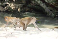 Wilde Affen auf Sand Lizenzfreie Stockbilder
