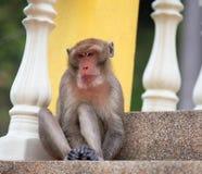 Wilde Affen, die auf den Schritten des Tempels spielen Lizenzfreie Stockfotografie