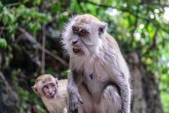 Wilde Affen in Kuala Lumpur; Malaysia Stockfotografie
