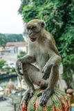 Wilde Affen in Kuala Lumpur; Malaysia Lizenzfreie Stockfotografie