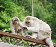 Wilde Affen Makakenkrabbeesser (Lat Macaca fascicularis) Nahaufnahme Stockbilder