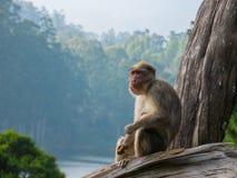 Wilde Affen nahe Munnar, Kerala, Indien Lizenzfreie Stockfotografie