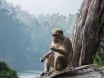 Wilde Affen nahe Munnar, Kerala, Indien Lizenzfreies Stockbild
