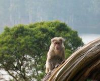 Wilde Affen nahe Munnar, Kerala, Indien Stockbilder