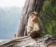 Wilde Affen nahe Munnar, Kerala, Indien Lizenzfreies Stockfoto