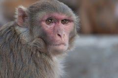 Wilde Affeporträtnahaufnahme in Nepal Lizenzfreies Stockfoto