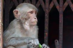 Wilde Affeporträtnahaufnahme in Nepal Stockfotografie