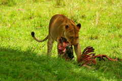Wilde africam Löwin, die Wildebeest isst Lizenzfreie Stockfotografie