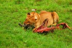Wilde africam Löwin, die Wildebeest isst Stockfoto