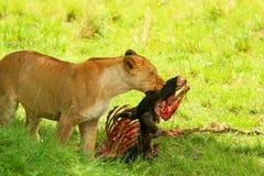 Wilde africam Löwin, die Wildebeest isst Stockfotos