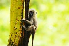 Wilde Afrikaanse aap Stock Afbeelding