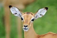 Wilde Afrikaanse antilope, stock foto's