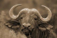 Wilde Afrikaanse Buffels Royalty-vrije Stock Foto's