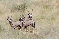 Wilde Afrikaanse gemsbok stock afbeeldingen