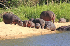 Wilde Afrikaanse hippo royalty-vrije stock afbeelding