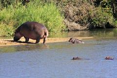 Wilde Afrikaanse hippo Stock Foto's
