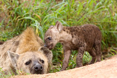 Wilde Afrikaanse hyaena Stock Fotografie