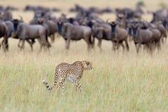 Wilde Afrikaanse Jachtluipaard Royalty-vrije Stock Foto's