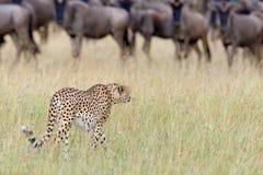 Wilde Afrikaanse Jachtluipaard Royalty-vrije Stock Foto