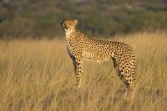 Wilde Afrikaanse Jachtluipaard   Stock Foto