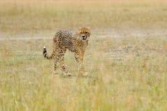 Wilde Afrikaanse Jachtluipaard Royalty-vrije Stock Afbeelding