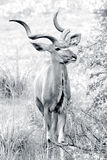 Wilde Afrikaanse kudu stock foto's