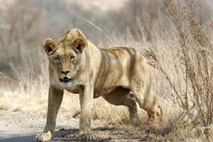 Wilde Afrikaanse leeuw Royalty-vrije Stock Foto