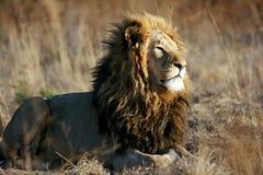Wilde Afrikaanse leeuw stock afbeelding