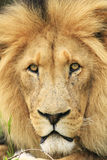 Wilde Afrikaanse leeuw Royalty-vrije Stock Fotografie