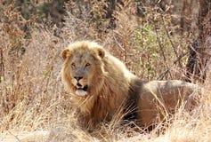 Wilde Afrikaanse leeuw royalty-vrije stock afbeelding