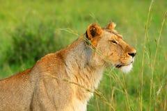 Wilde Afrikaanse leeuwin Royalty-vrije Stock Fotografie