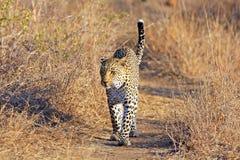 Wilde Afrikaanse luipaard Stock Fotografie