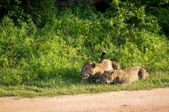 Wilde Afrikaanse luipaarden Een luipaardpaar De luipaarden van Srilankan, Pa royalty-vrije stock afbeeldingen
