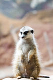 Wilde Afrikaanse Meerkat (suricatta Suricata) Stock Afbeelding