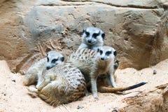 Wilde Afrikaanse Meerkat (suricatta Suricata) Royalty-vrije Stock Afbeeldingen