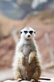 Wilde Afrikaanse Meerkat (suricatta Suricata) Royalty-vrije Stock Foto's