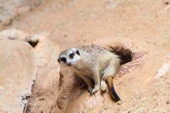 Wilde Afrikaanse Meerkat (suricatta Suricata) Stock Foto's