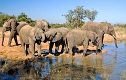 Wilde Afrikaanse Olifant stock afbeelding