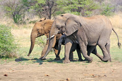 Wilde Afrikaanse Olifant Royalty-vrije Stock Foto