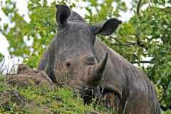 Wilde Afrikaanse rinoceros Royalty-vrije Stock Foto's