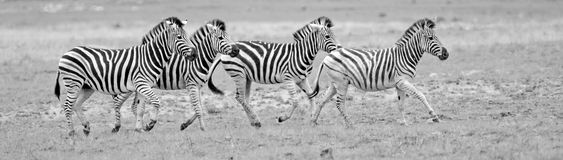 Wilde Afrikaanse zebras Royalty-vrije Stock Foto's