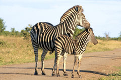 Wilde Afrikaanse zebras Stock Foto's