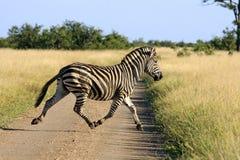 Wilde Afrikaanse zsbras royalty-vrije stock foto's