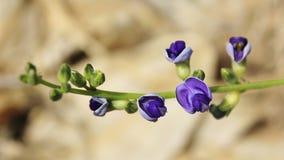 Wilde afrikanische Blumen - purpurrote Bell Stockbilder