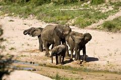 Wilde afrikanische Elefanten, die Schlammbad an Kruger-Park, Südafrika nehmen lizenzfreies stockbild
