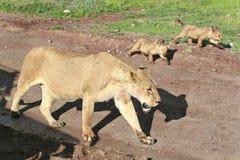 Wilde afrikanische Löwin mit den Jungen, die entlang Straße kommen. Stockbild