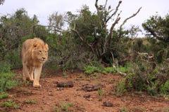 Wilde afrikanische männliche Löwejagd Stockbild