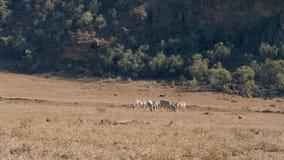 Wilde afrikanische Zebras Graze In The Meadow During die Trockenzeit in der Reserve stock video