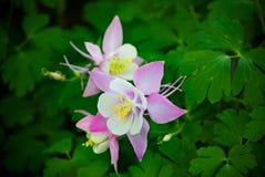 Wilde Akelei-Blume (aquilegia) im Frühjahr Stockfotografie