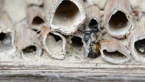 Wilde alleine Bienen osmia bicornis, die auf Insektenhotel am Frühjahr verbinden stock footage